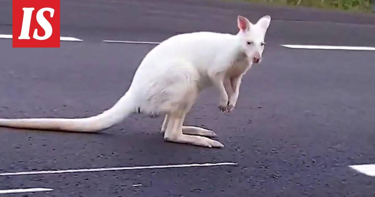 Valkoinen Kenguru