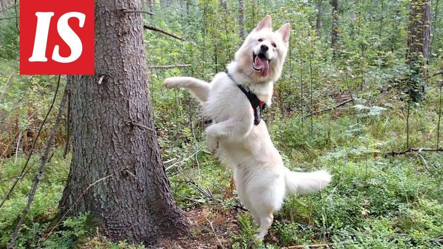 Koira Ripuloi Verta