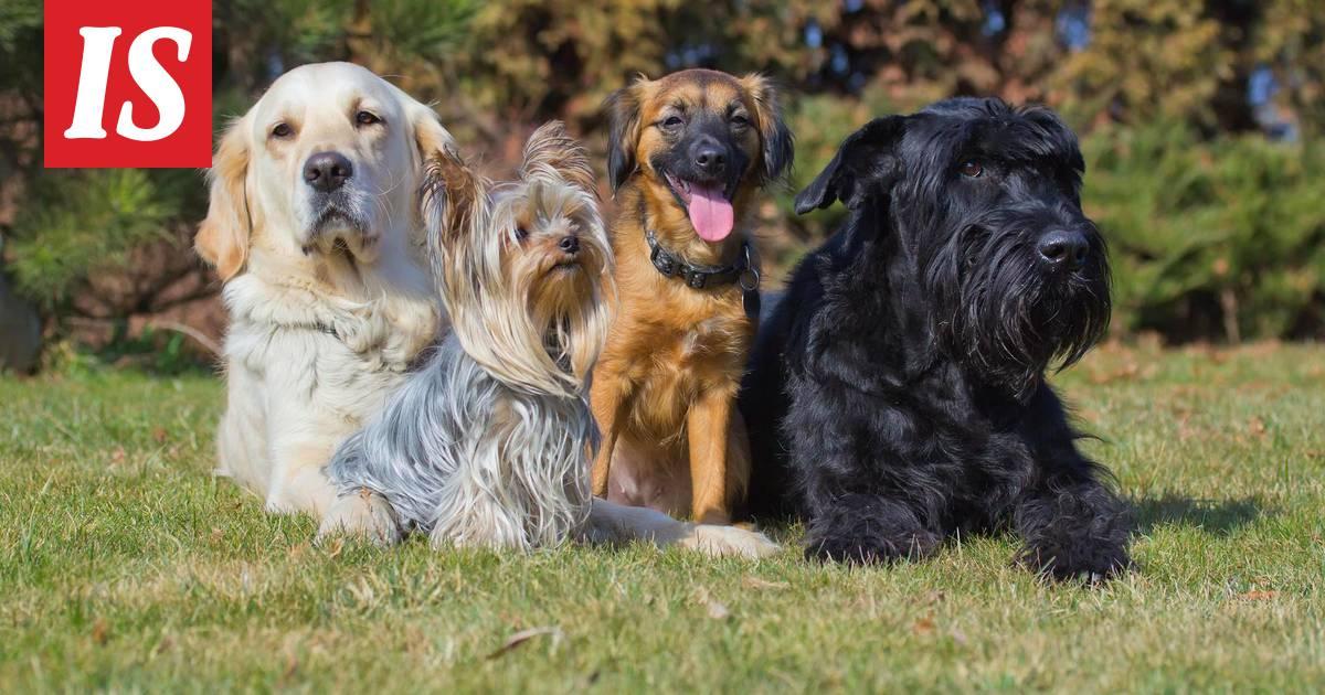 Kommentoi juttua: Testaa, kuinka hyvin tunnet koirarodut
